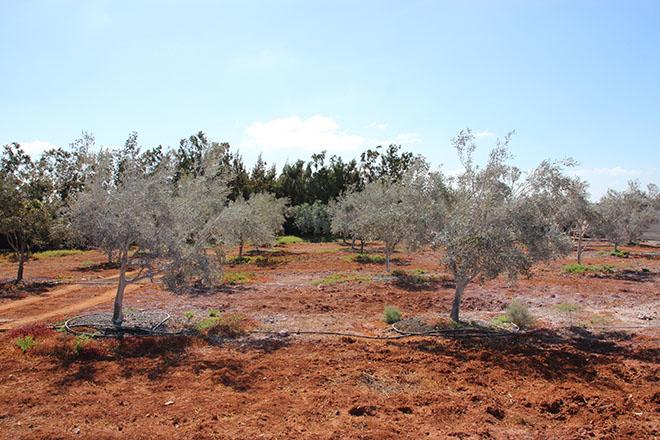 Se triplica el cultivo de olivos en las Islas